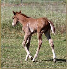 Intentions x Miss Sunday Stockings filly 1161.jpg