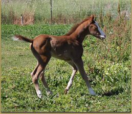 Intentions x Miss Sunday Stockings filly 1184.jpg