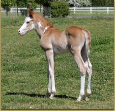 The Gift Of Midas x Miss Shadow Page filly 1092.jpg