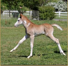 The Gift Of Midas x Miss Shadow Page filly 1118.jpg